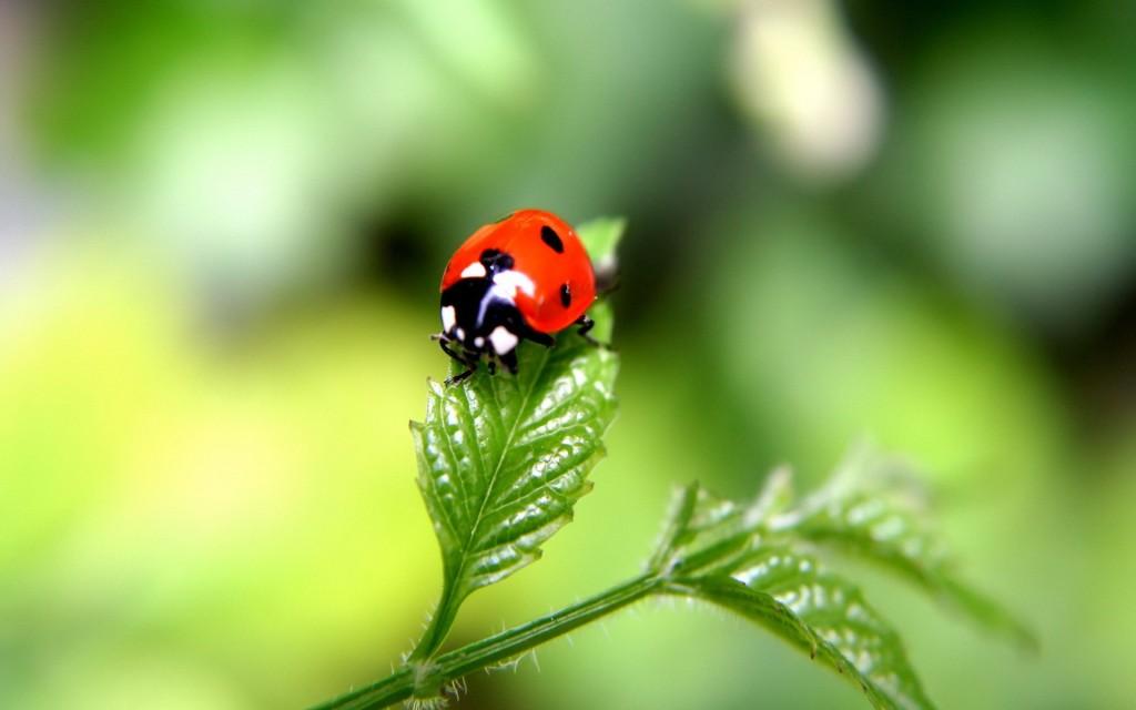 Beautiful-Ladybugs-Macro-Photography-Wallpaper-HD